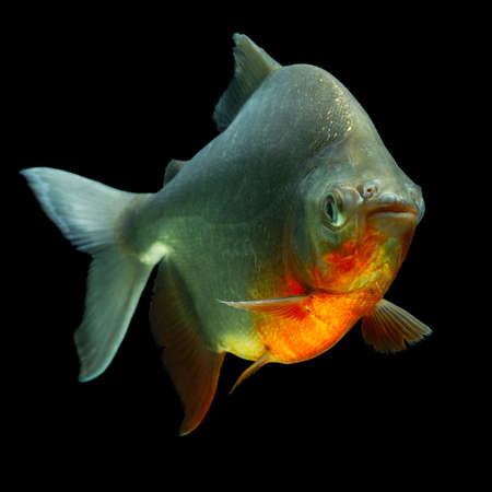 pacu: cachama or tambaqui fish pofile isolated on black, studio aquarium shot. Stock Photo