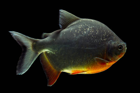 pacu: cachama or pacu fish isolated on black, side view, studio aquarium shot