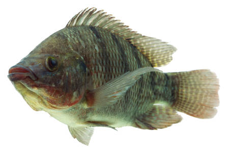 mozambique tilapia,profile shot isolated on white Stock Photo - 26122369