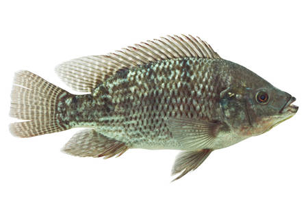 chidae: mozambique tilapia isolated on white, live animal , studio aquarium shot