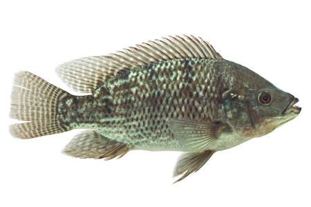 mozambique tilapia isolated on white, live animal , studio aquarium shot Stock Photo - 26122370