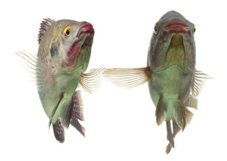 pair of tilapia fish dancing, live animals, studio aquarium shot