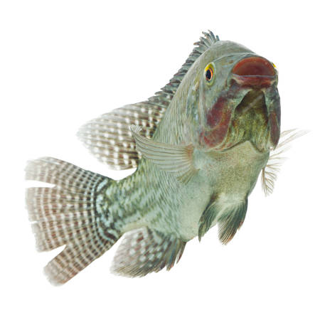 chidae: mozambique tilapia,profile shot isolated on white Stock Photo
