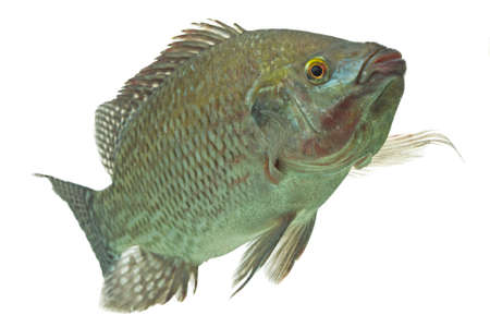mozambique tilapia,profile shot isolated on white photo