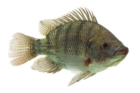 mozambique tilapia,profile shot isolated on white Standard-Bild
