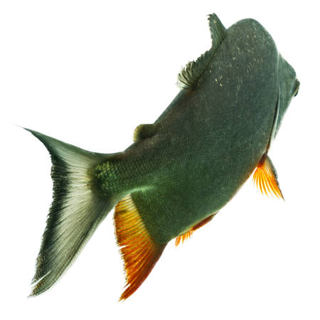 pacu: tambaqui fish isolated on white, studio aquarium shot.
