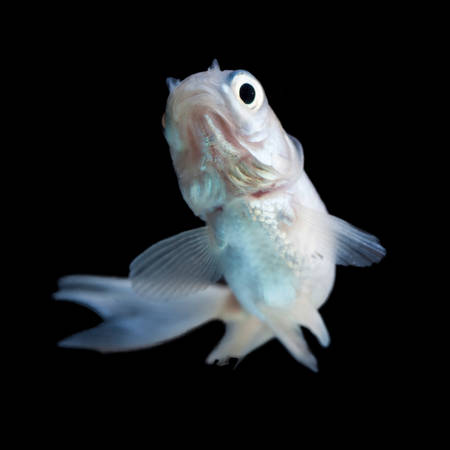 White comet goldfish fry isolated on black photo