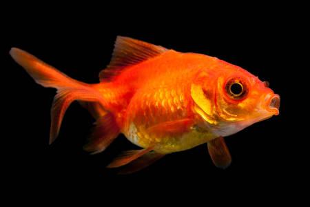oranda: Fry Oranda godlfish isoalted su fondo nero