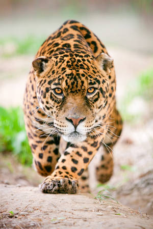 large jaguar male performing an attack, with his ferocious look traight to your eyes
