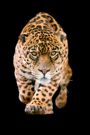 large jaguar male performing an attack, with his ferocious look straight to your eyes isolated on black Archivio Fotografico