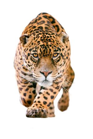 あなたの目を白で隔離されるに彼の猛烈な外観ストレートとの攻撃を実行する大規模なジャガー男性