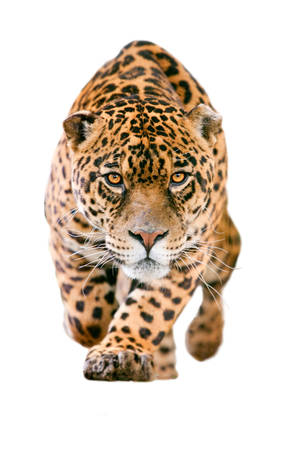 large jaguar male performing an attack, with his ferocious look straight to your eyes isolated on white