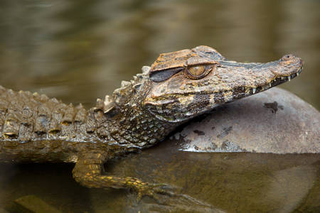caiman: submerged caiman, shot in the wild in Amazonian basin in Ecuador.