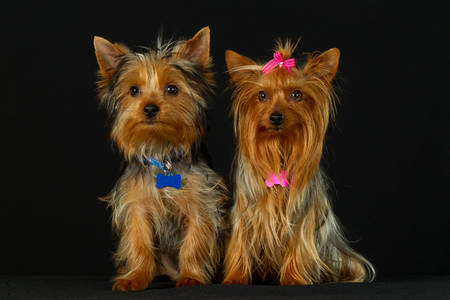 yorkshire terrier couple on their wedding day photo