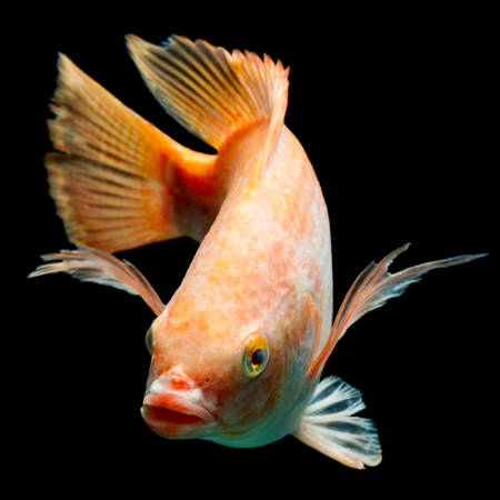 a freshwater fish: nile or red  tilapia, oreochromis niloticus, isolated on black, studio aquarium shot. Stock Photo