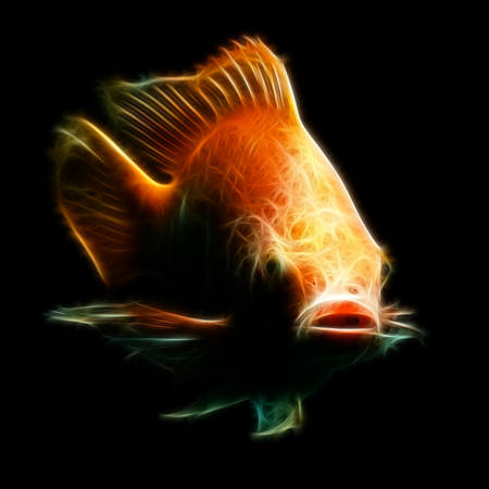 tank fish:  Nile or red  tilapia, Oreochromis niloticus, isolated on black, studio aquarium shot.