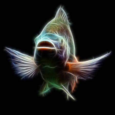 nile tilapia:  Mozambique tilapia, Oreochromis mossambicus, isolated on black, studio aquarium shot.
