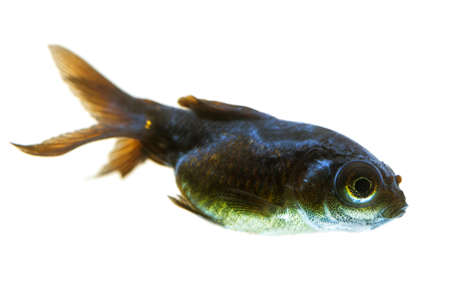 aquarium fish: sick telescope goldfish fry, you may observe the cotton like fungus behind his eye. Stock Photo