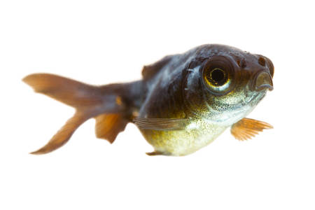 sick telescope goldfish fry, you may observe the cotton like fungus behind his eye. photo