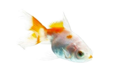 ichthyology: Fractal design of a double tail juvenile goldfish