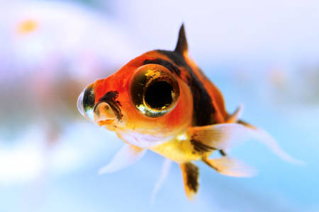 young telescope goldfish fry, about eight weeks old photo