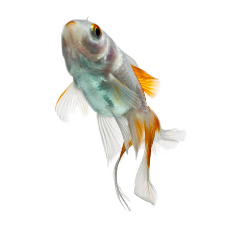 dorsal: juvenile goldfish, about 3 months of age, isolated on white background Stock Photo