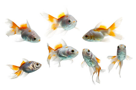 about age: juvenile goldfish, about 3 months of age, isolated on white background, seven shots Stock Photo
