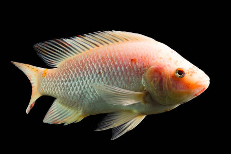 high quality shot of red tilapia fish underwater, studio aquarium shot isolated on black.