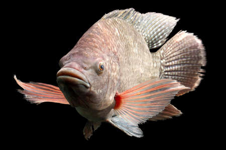 zebra cichlid: high quality shot of a large tilapia fish, about five pounds