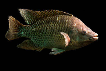nile tilapia: high quality shot of a large tilapia fish, about five pounds