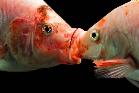 animal mating: tilapia couple kissing underwater, hiqh quality aquarium studio shot.