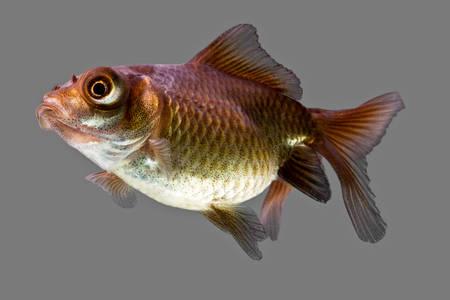 crucian carp: telescope goldfish isolated on gray,  high quality studio aquarium shot.