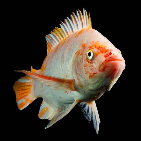 nile tilapia: high quality shot of red tilapia fish underwater, studio aquarium shot isolated on black.
