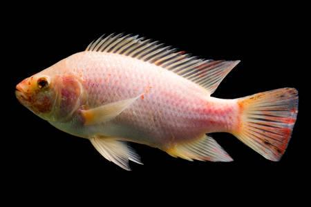 high quality shot of red tilapia fish underwater, studio aquarium shot isolated on black.