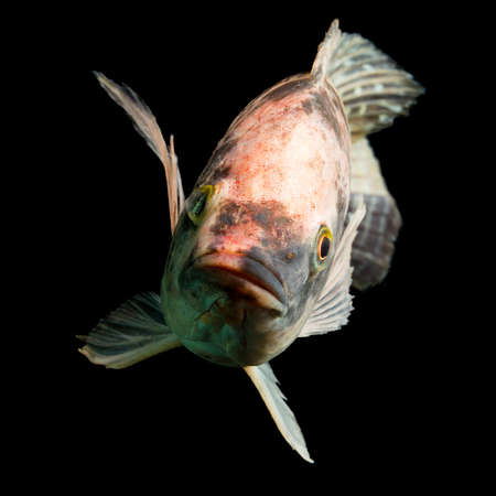high quality shot of brown spotted tilapia fish underwater, studio aquarium shot isolated on black. photo