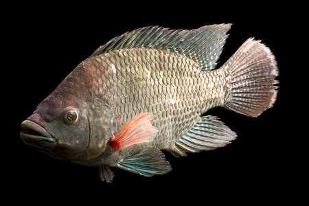 large cichlid: high quality shot of a large tilapia fish, about five pounds