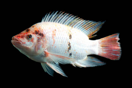 high quality shot of red tilapia fish underwater, studio aquarium shot isolated on black. photo