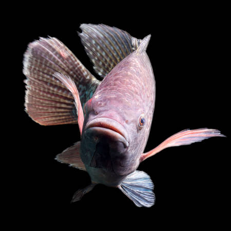 invasive species: high quality shot of a large tilapia fish, about five pounds