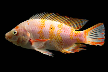 zebra cichlid: high quality shot of red tilapia fish underwater, studio aquarium shot isolated on black.