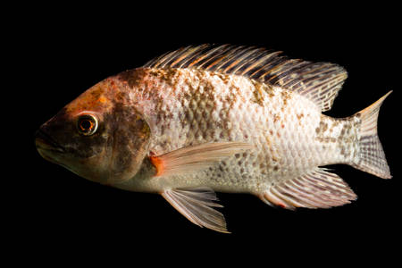 nile tilapia: high quality shot of brown spotted tilapia fish underwater, studio aquarium shot isolated on black.