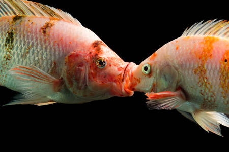 africa kiss: tilapia couple kissing underwater, hiqh quality aquarium studio shot.
