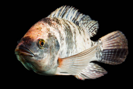 high quality shot of brown spotted tilapia fish underwater, studio aquarium shot isolated on black.