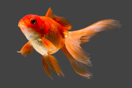single fin: red cap oranda goldfish isolated on gray, high quality studio aquarium shot. Stock Photo
