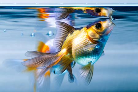 ryukin goldfish in home aquarium photo