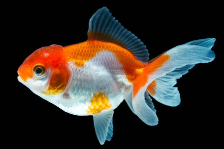 oranda goldfish isolated on black, high quality studio shot manualy removed from background so the finnage is complete