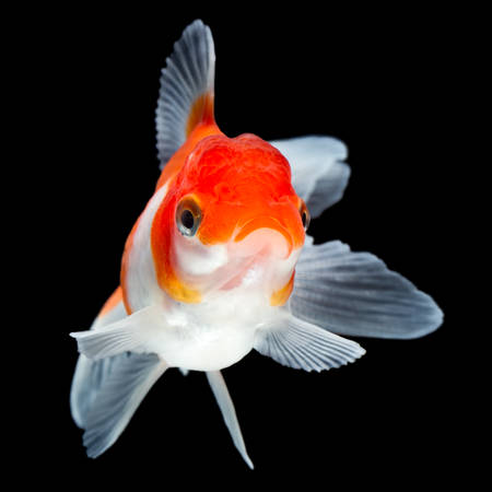 carassius gibelio: oranda goldfish isolated on black, high quality studio shot manualy removed from background so the finnage is complete