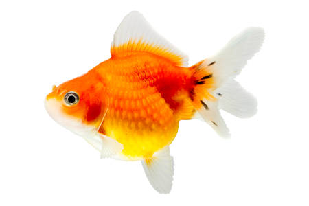 carassius gibelio: pearlscale goldfish isolated on white, high quality studio shot manualy removed from background so the finnage is complete Stock Photo