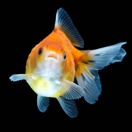 carassius gibelio: pearlscale goldfish isolated on black, high quality studio shot manualy removed from background so the finnage is complete
