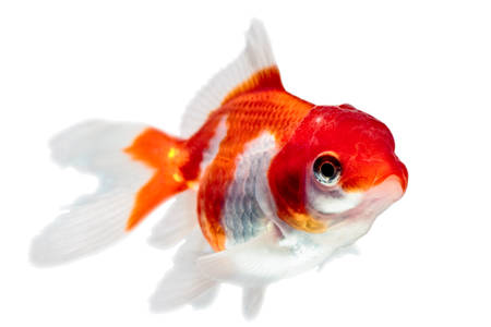 oranda: oranda goldfish isolated on white, high quality studio shot manualy removed from background so the finnage is complete