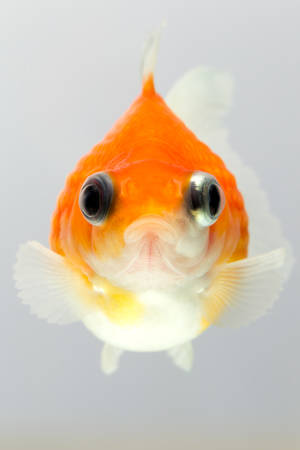 fish breeding: pearlscale goldfish isolated on white, high quality studio shot manualy removed from background so the finnage is complete Stock Photo